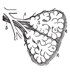 Diagram of the two primary lobules of the lung vector