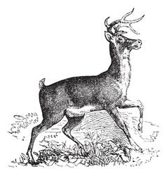 Virginia deer vintage engraving vector image