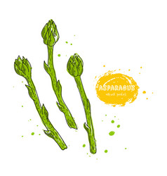 Asparagus hand drawn in the vector