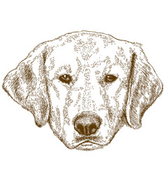 Engraving labrador head vector