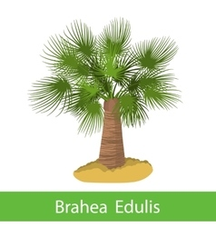 Brahea Edulis cartoon tree vector image vector image