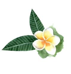 watercolor frangipani flower vector image