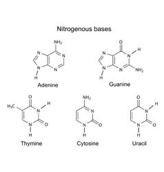 Purine and pyrimidine nitrogenou vector image vector image