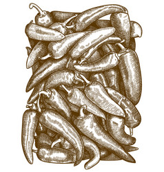 engraving chil pepper vector image