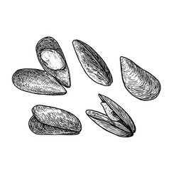 Mussels drawing engraving ink lin vector