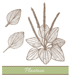 plantain in hand drawn style vector image
