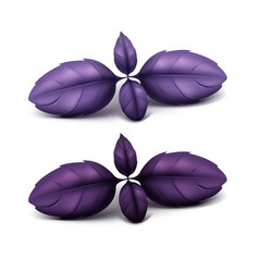 Fresh red purple basil leaves isolated vector