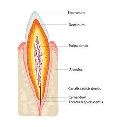 anatomy tooth vector image