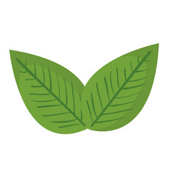 Fresh leaf coriander healthy food vector