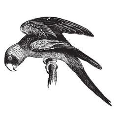 Carolina parroquet vintage vector