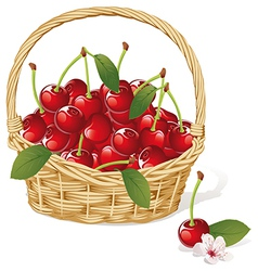cherry basket vector image