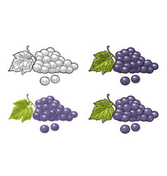 Bunch grapes with berry and leaves vintage vector