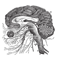Vertical section of the brain vintage vector