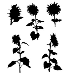 Collection of silhouettes of sunflowers vector image vector image