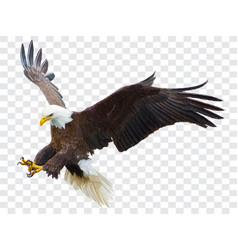 Bald eagle flying swoop attack hand draw vector