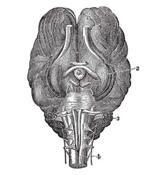 Base of brain of a horse vintage vector