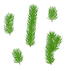 green fir branch vector image