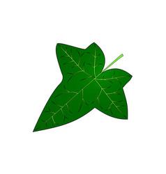 Ivy ivy leaf vector