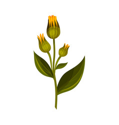 Mountain arnica or arnica montana with closed vector