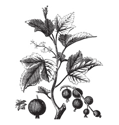Ribes berry or blackcurrant or vintage engraving vector image vector image