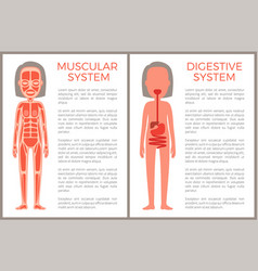 Muscular and digestive systems of woman s body vector