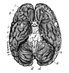 Human brain vintage engraving vector image vector image