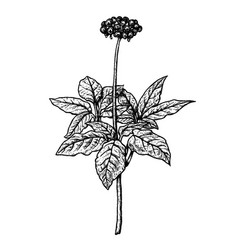 hand drawn ginseng plant vintage sketch vector image