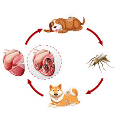 Heartworm life cycle chart vector