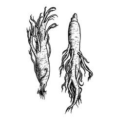 hand drawn set of ginseng roots vintage vector image