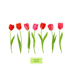 Isolated tulips flowers element vector