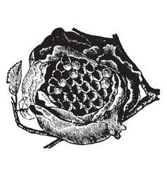 wasp nest vintage vector image