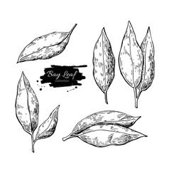 Bay leaf hand drawn set vector image