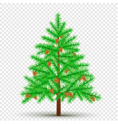 spruce with cones transparent background vector image