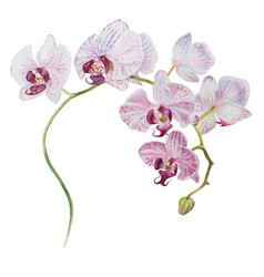beautiful orchid blooming branch watercolor hand vector image