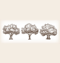 Sketch set of olive trees vector
