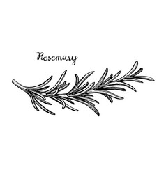 Rosemary branch sketch vector
