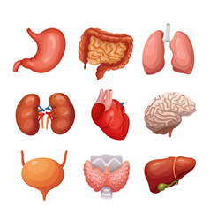 human internal organs stomach and lungs kidneys vector image