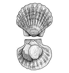 scallop drawing engraving ink lin vector image