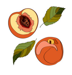 peach sliced peach half vector image
