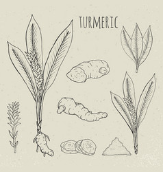 Turmeric medical botanical isolated vector