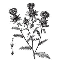 saffron flowers engraving vector image