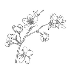 Hand drawn branch sakura with blooms flowers vector