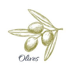 olive branch of green olives sketch vector image