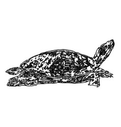 Drawing a sea turtle vector