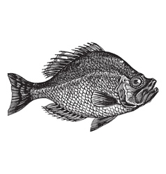 rock bass vintage engraving vector image vector image