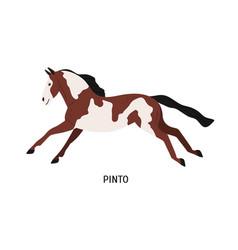 Pinto breed horse flat vector