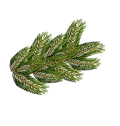 Spruce branch on white background Christmas tree vector image