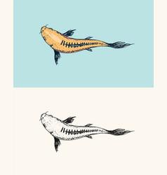 koi carp japanese fish korean animal engraved vector image