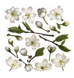 set of blossoming cherry white flowers vector image vector image