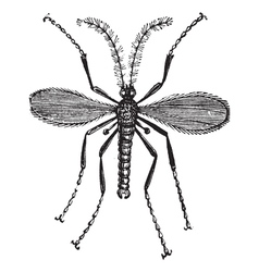 Hessian fly vintage engraving vector